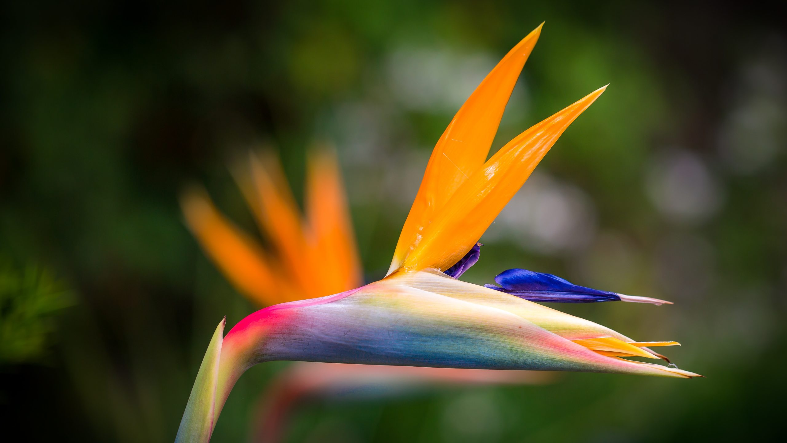 bird of paradise flower representing passion and authenticity