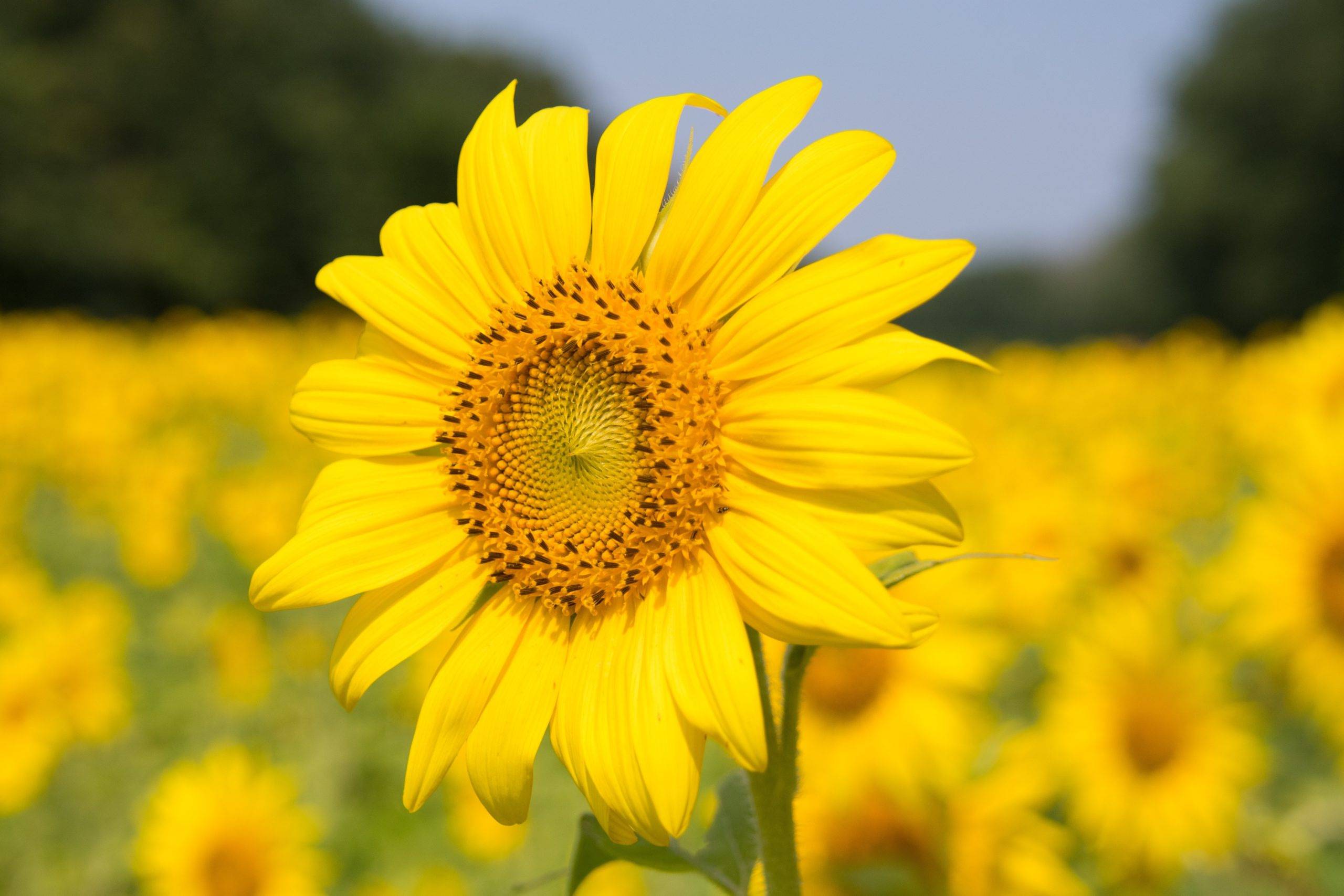 sunflower blossoming in nature